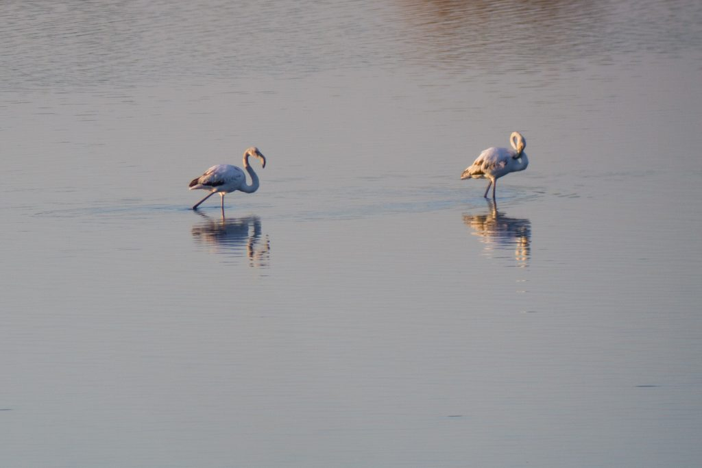 The picture shows two flamingos in a typical bog of Vendicari natural reserve.