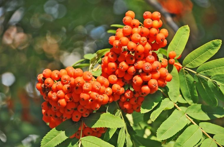 Rowan berries Mountain ash (Sorbus) tree with ripe berry