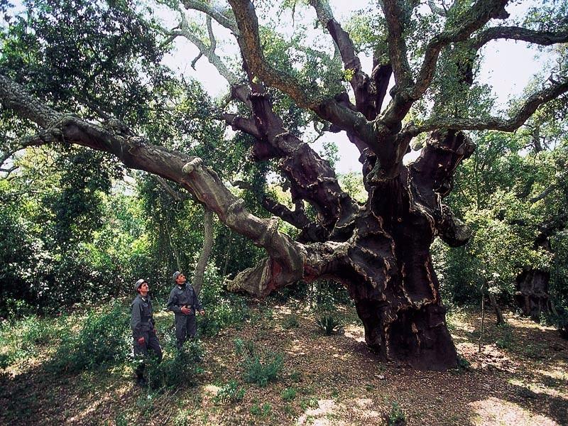 Sughereta di niscemi for Quercia sempreverde