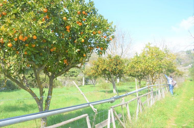 Along the way: orange trees